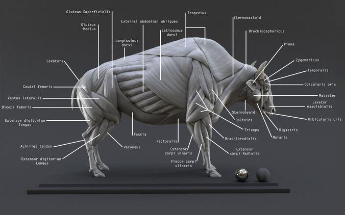 bison ecorche - model muscles study -  3d model obj mtl ztl 1