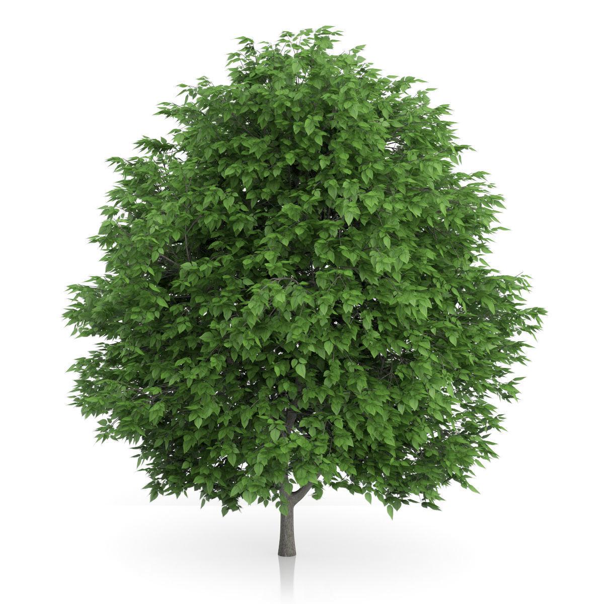 Cigar Tree Catalpa bignonioides