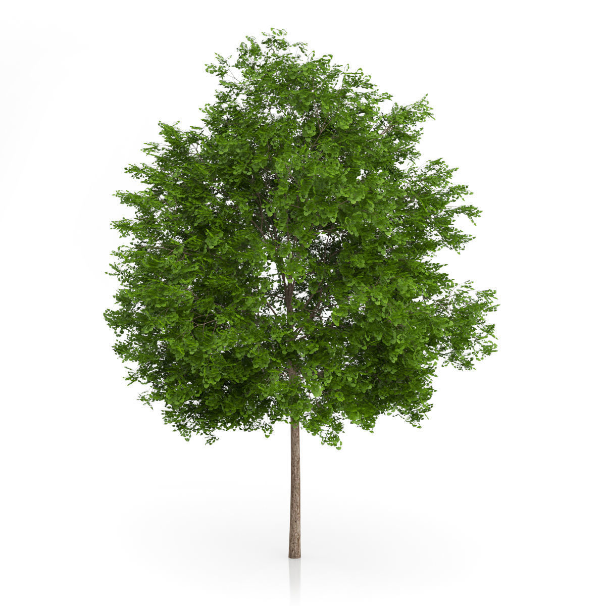 Maidenhair Tree Ginkgo biloba