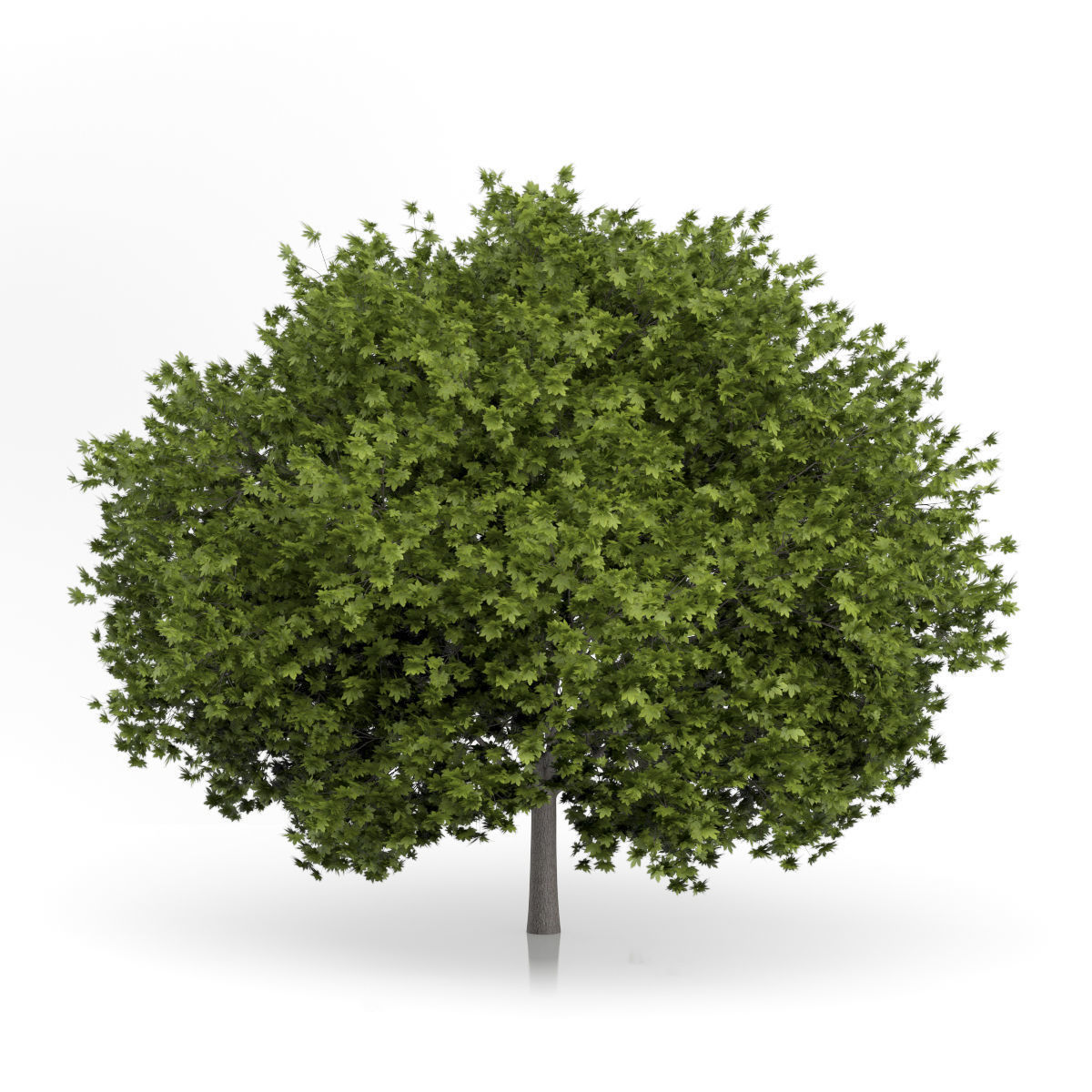 Norway Maple Tree Acer platanoides