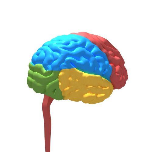 human brain cerebrum 3d model max obj mtl 3ds 1