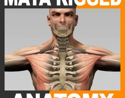 Maya Rigged Human Male Body Muscular System and Skeleton 3D Model
