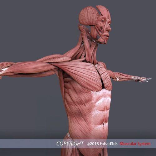 muscular system 3d model low-poly max obj mtl 3ds fbx ma mb stl 1