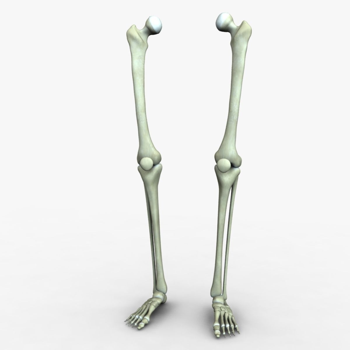 3d Human Leg Bones Accurate Cgtrader