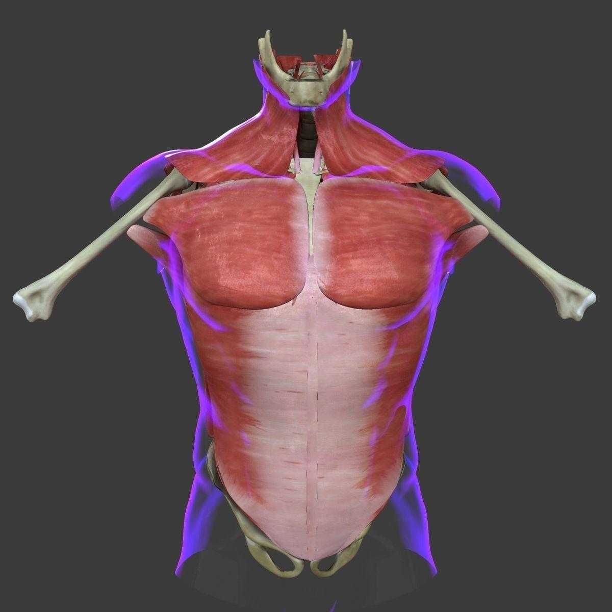 Human Torso Muscle Anatomy Medical Edition 3d Cgtrader