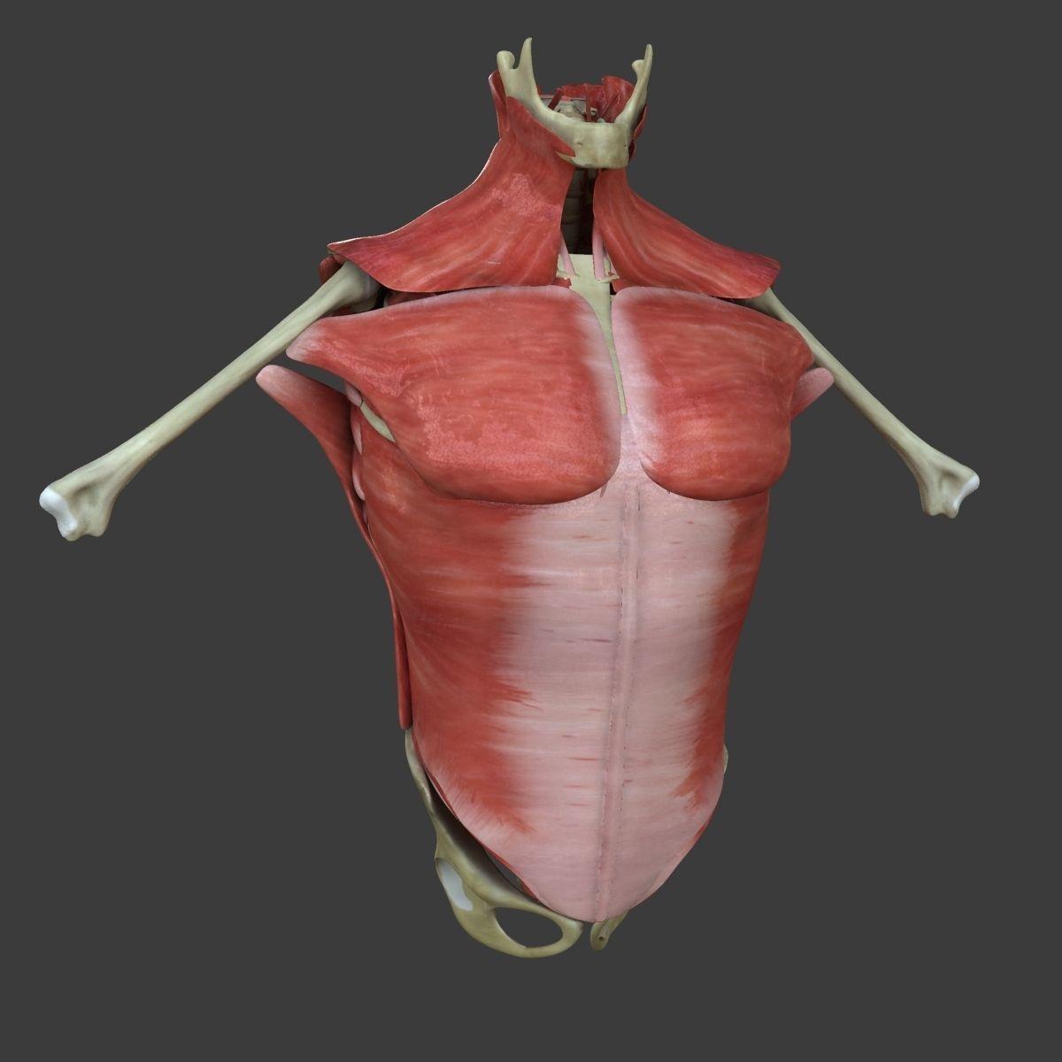 Human Torso Muscle Anatomy Medical Edition 3D | CGTrader