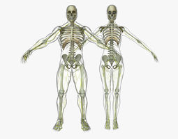 Human Male And Female Nervous System 3D model