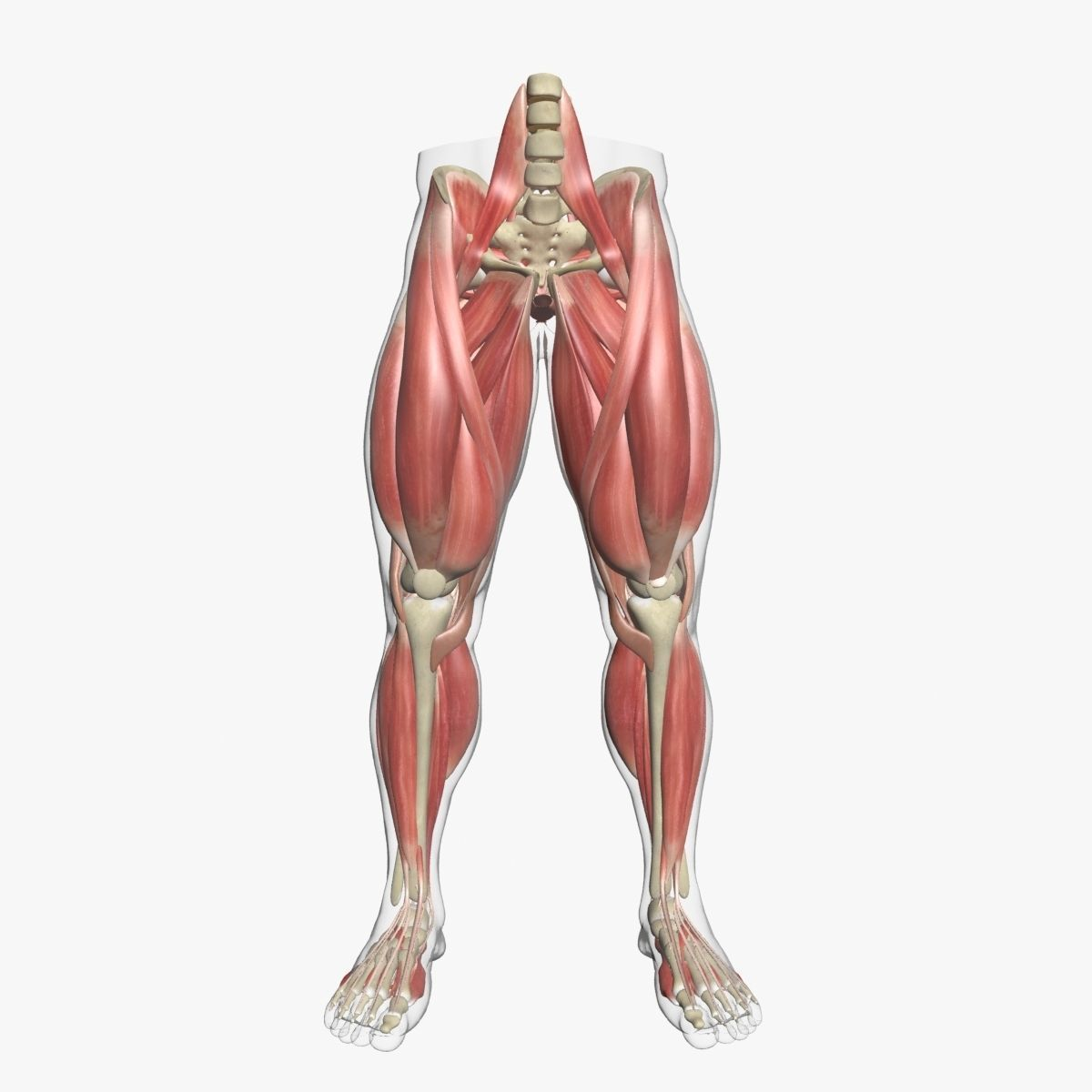 Human Leg Muscle Anatomy 3DSmax | CGTrader