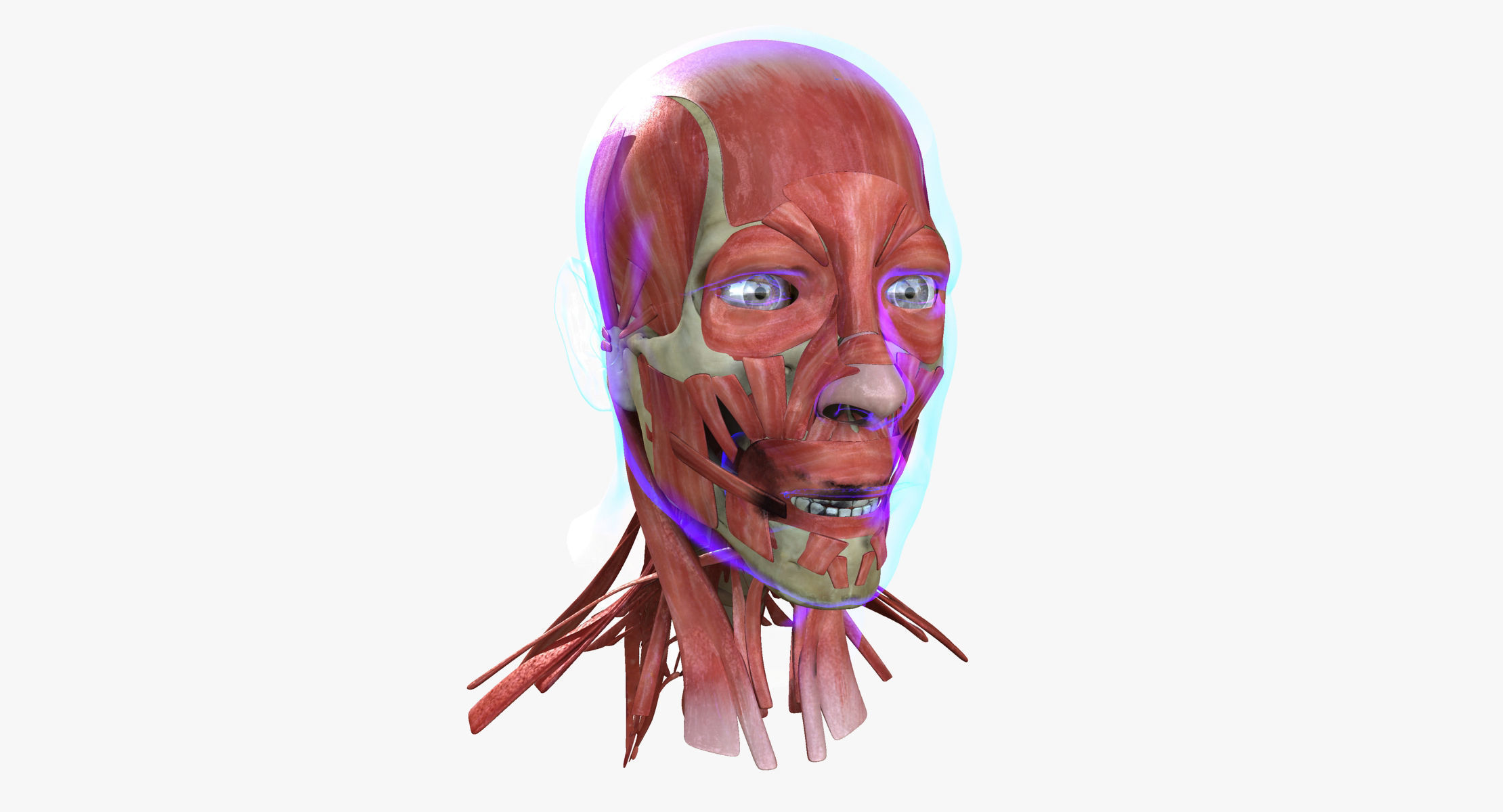 3d Model Human Face Muscle Anatomy Medical Edition