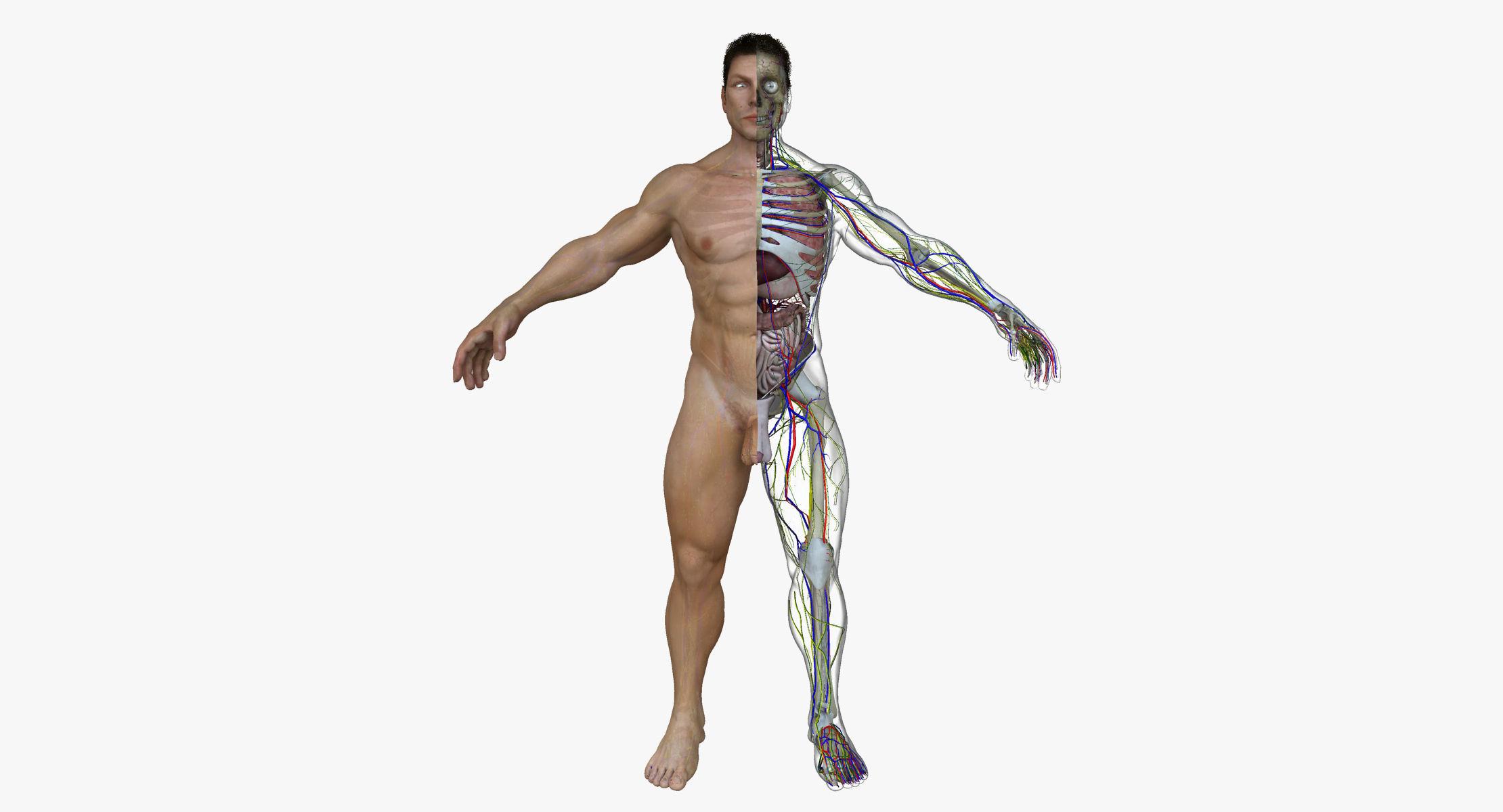 Human Male Full Body Anatomy