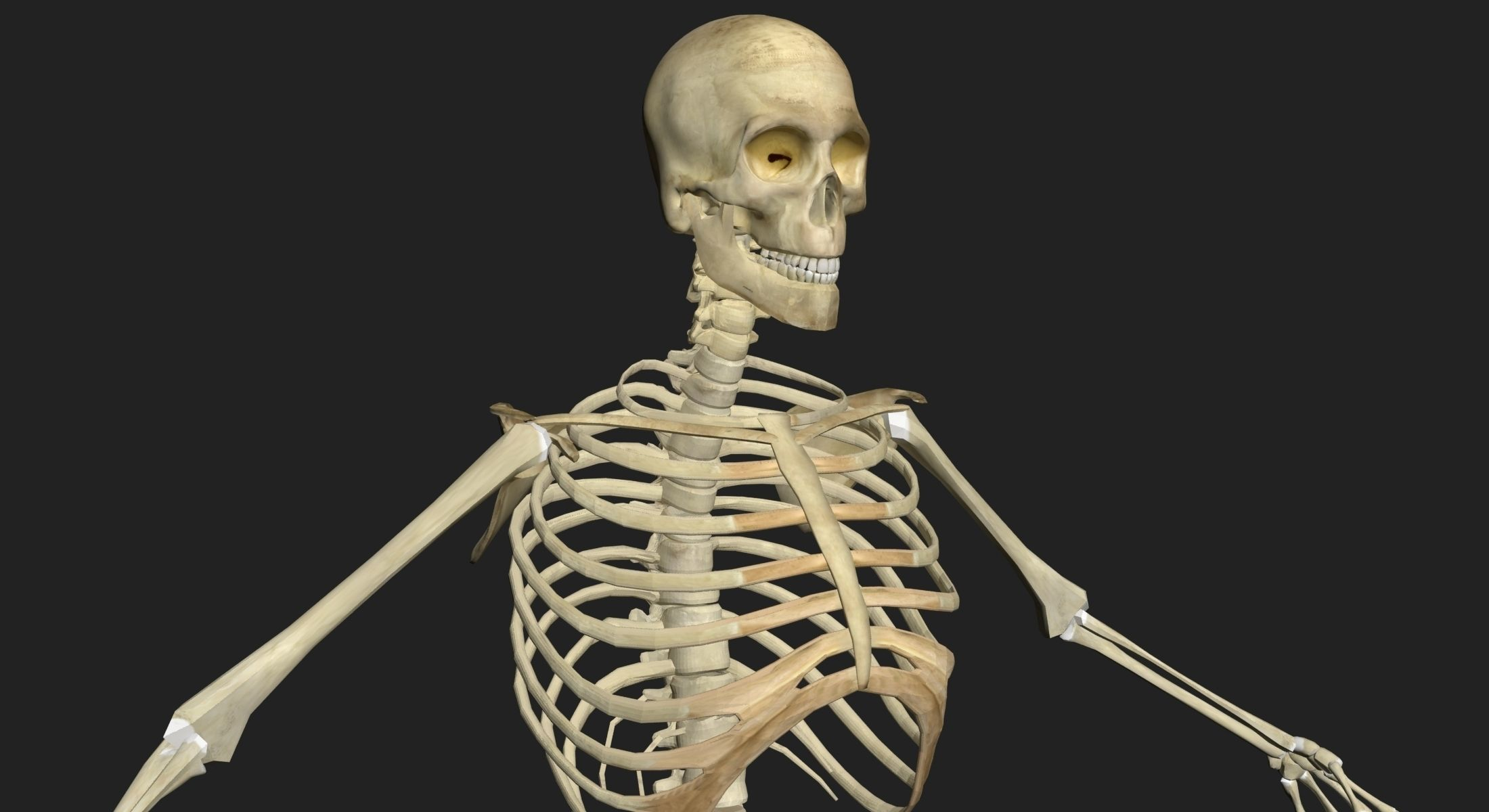 Male and Female Human Skeleton Anatomy 3D | CGTrader