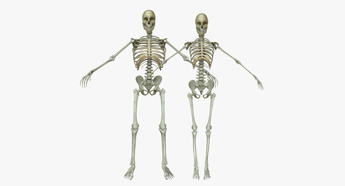 Human anatomy male and female