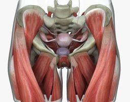 torso 3D model Female Reproductive System