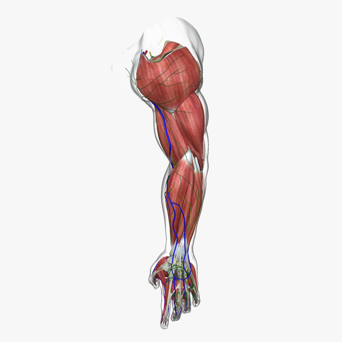 Complete Male Arm Anatomy 3d Cgtrader