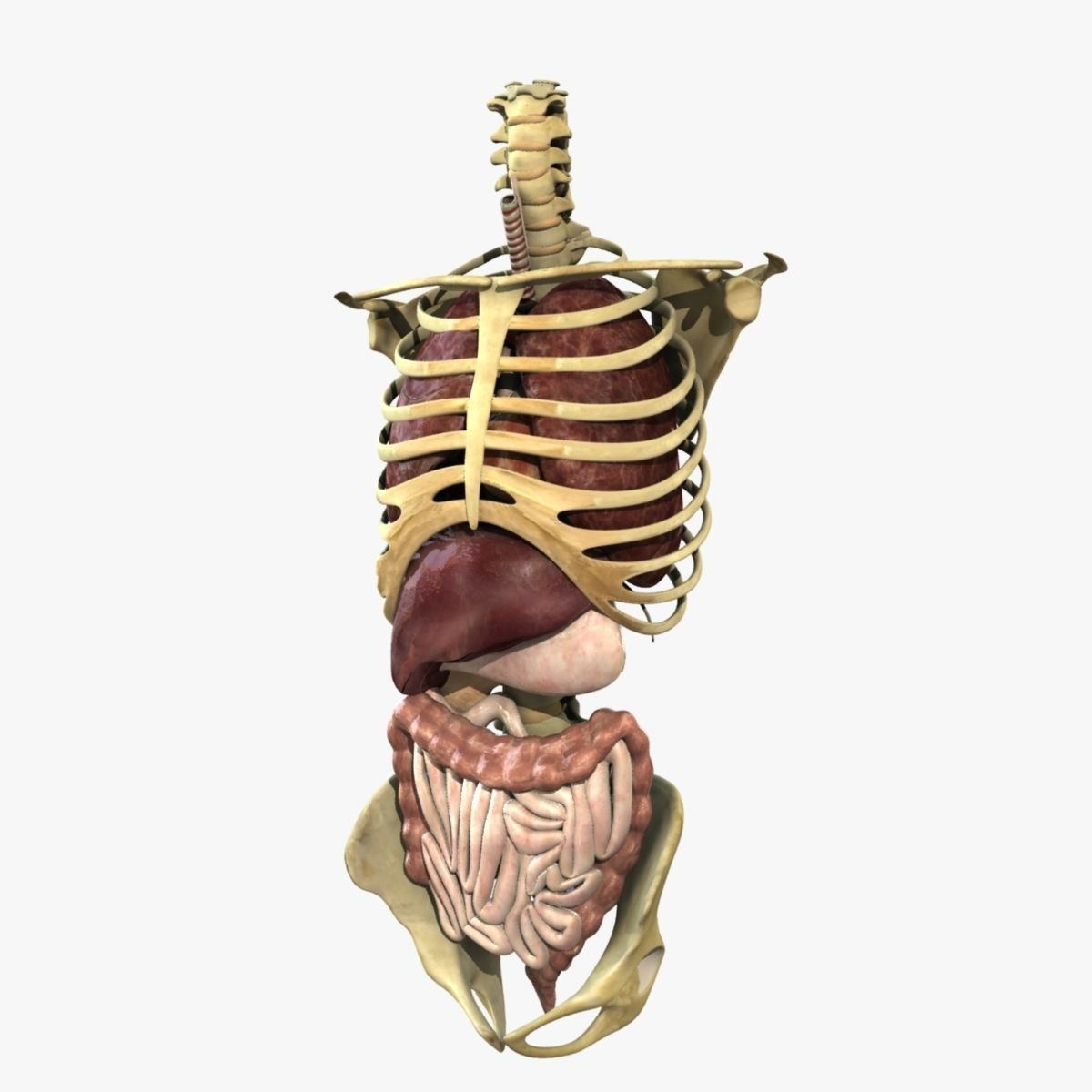 3D Human Skeleton Torso With Internal Organ Anatomy Rigged