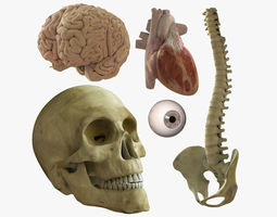 3D model Skull Heart Brains Eye Spine