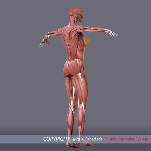 Female Muscular System Choice Image Human Anatomy Diagram