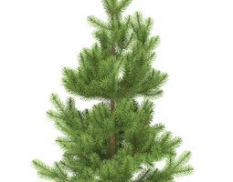 pine height 1 metre 3d