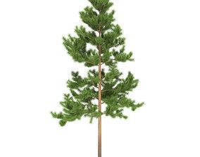 Pine height 7 metre 3D model