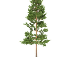 3D Pine height 9 metre
