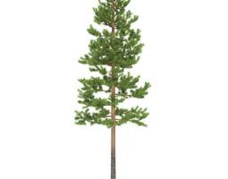 Pine height 10 metre 3D model