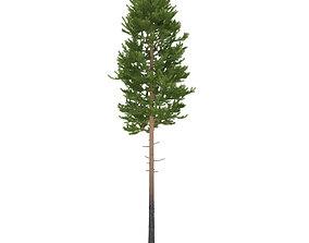 Pine height 20 metre 3D