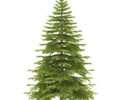 spruce height 3 metre 3d model