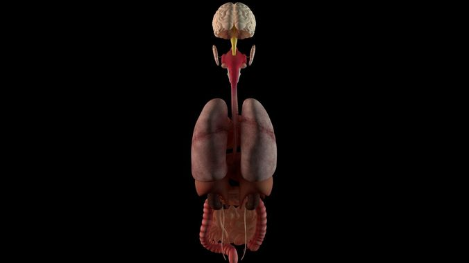 Organs - Human Body Collection 3D | CGTrader