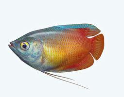 Gurame Fish 3D