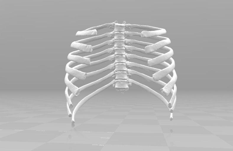 Female T3-T10 ribcage