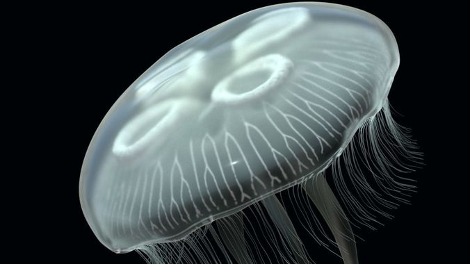 jellyfish rigged and animated for cinema 4d 3d model low-poly rigged animated c4d 1