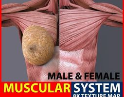 Male Female Muscular System 3D asset