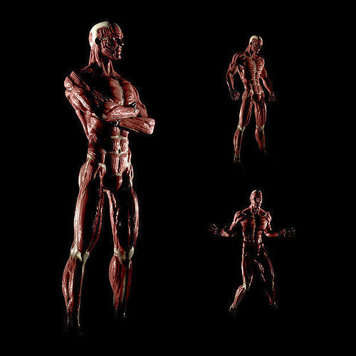 anatomy of a man 3d model obj 3ds fbx blend 1