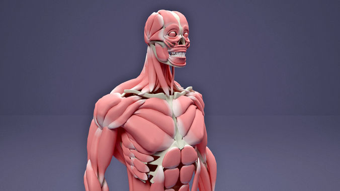 muscular and skeletal systems of human body 3d model max obj mtl 3ds fbx stl tga 1