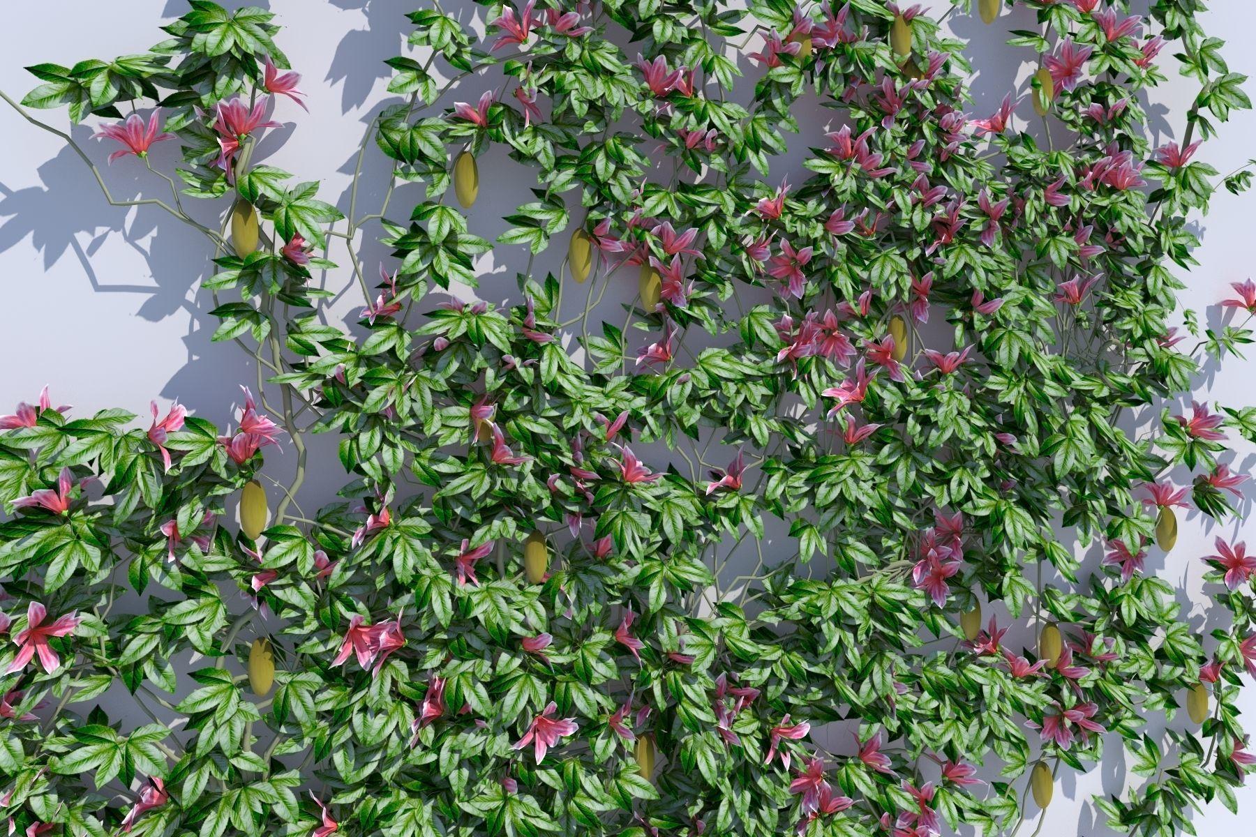 3d Asset Passiflora Plant Cgtrader