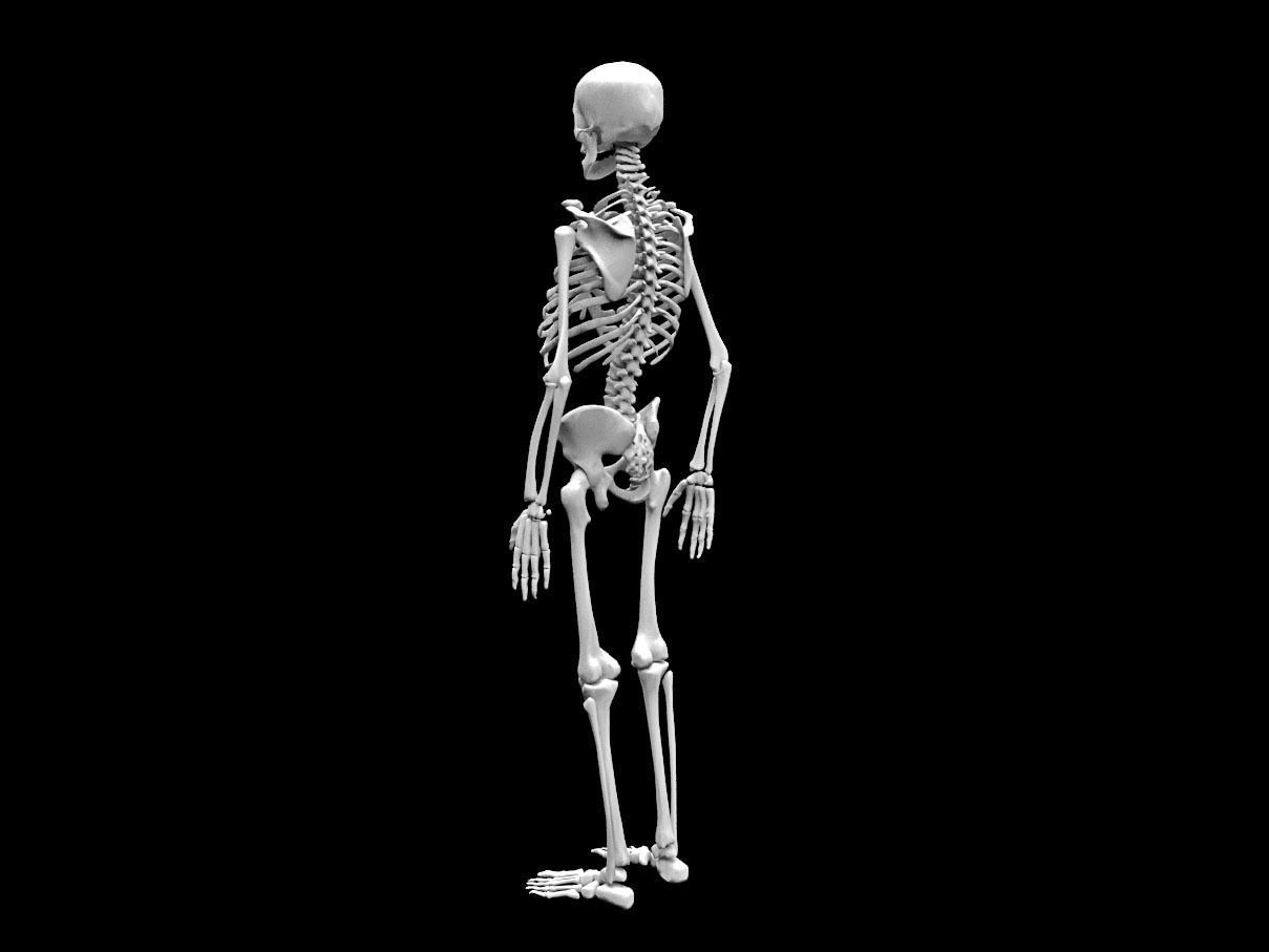 3d Model Realistic Human Skeletal System Cgtrader