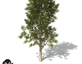 XfrogPlants Spotted Gum 3D model