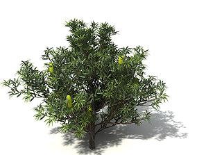 3D model XfrogPlants Saw Banksia serrata