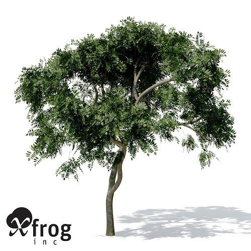 XfrogPlants Curry Leaf Tree