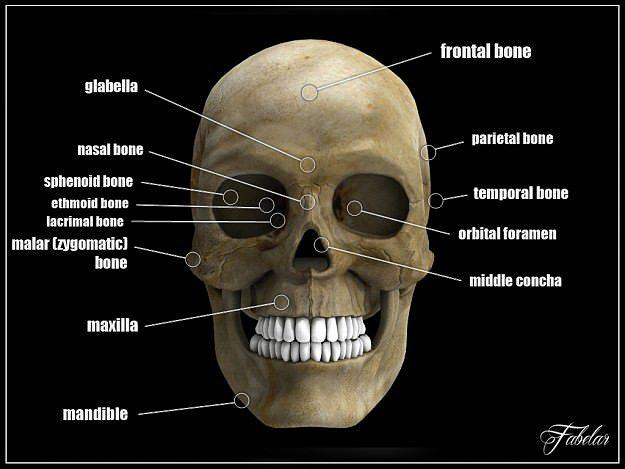 3d Human Skull Std Mat Cgtrader
