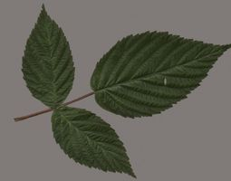 raspberries leaf 3D model