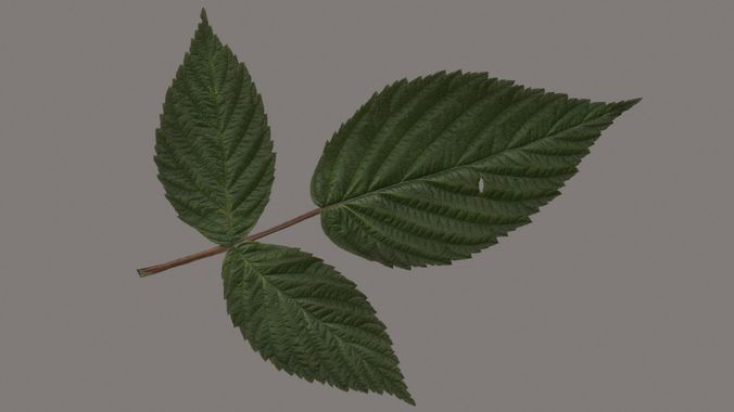 raspberries leaf 3d model max obj mtl 3ds fbx 1