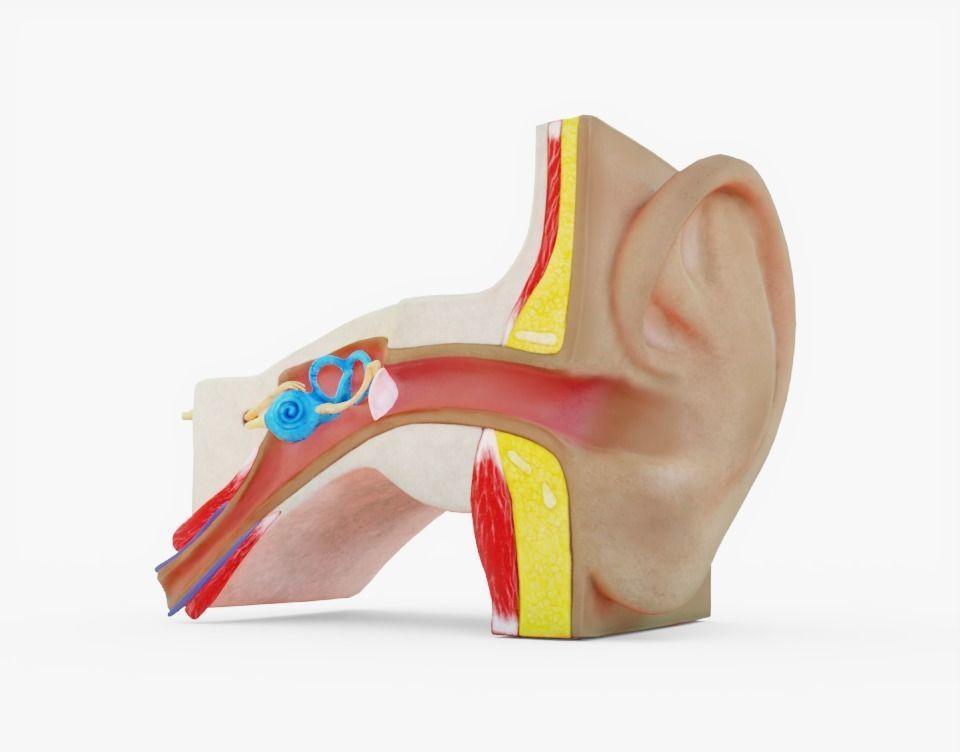 3D model Human Ear Anatomy | CGTrader