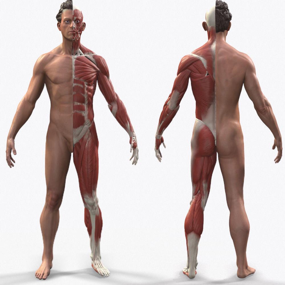 Ecorche Male Anatomical Reference 3d Model Obj Mtl Ztl