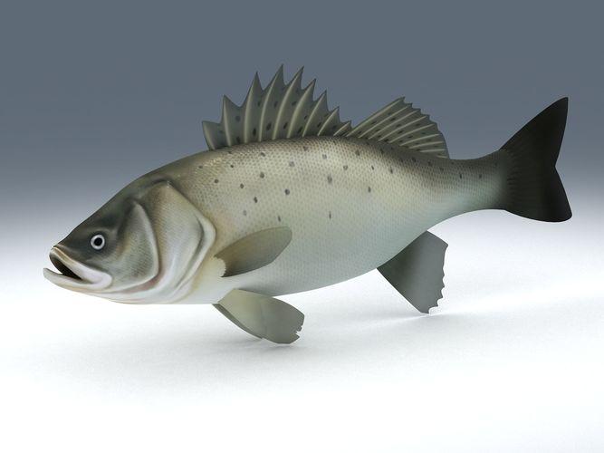 perch weever sea bass fish 3d model low-poly max obj mtl 3ds fbx ma mb 1