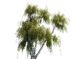 3D model Birch tree HD
