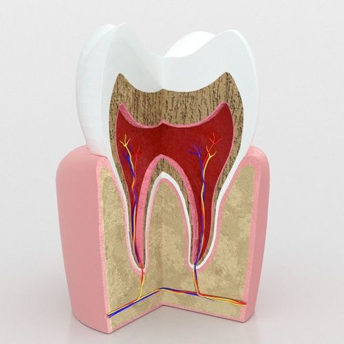 Human Tooth Anatomy Model Game Ready Cgtrader