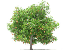 3D Mango Tree with Fruits
