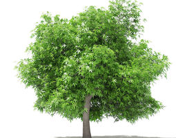 Mango Tree fruit 3D model