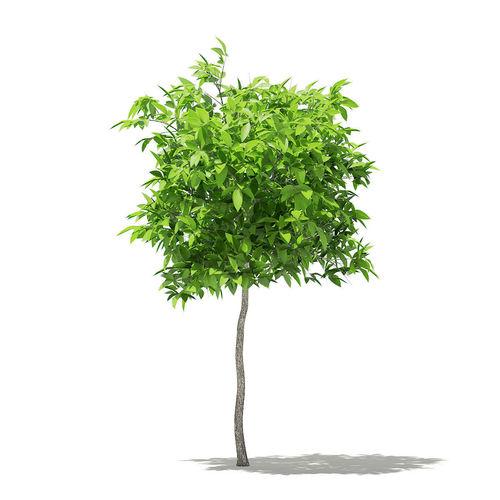 avocado tree 3d model max obj mtl fbx c4d mat uasset 1